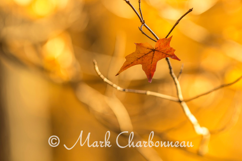 Hanging Maple Leaf