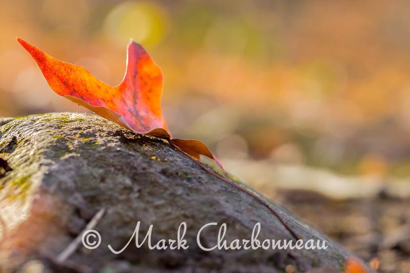 Oak Leaf on rock