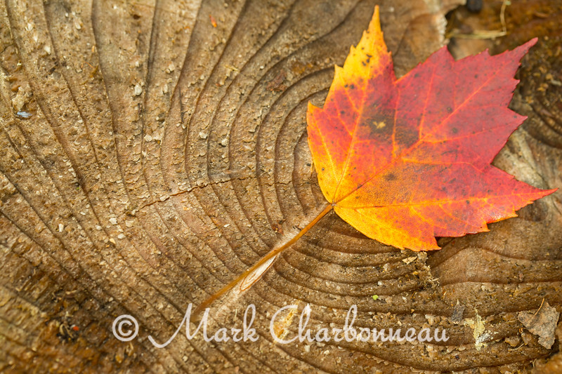 Maple Leaf on log