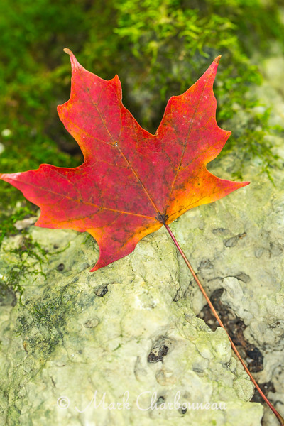 Maple Leaf with Moss