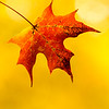 Red Sugar Maple Leaf with Yellow