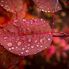Red Leaf with Rain Drops