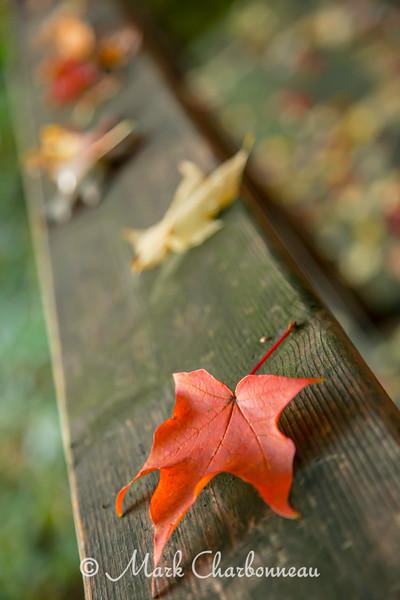 Maple Leaves on Rail