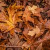 yellowish oak leaves