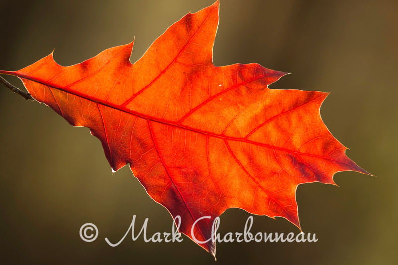 Red Oak Leaf horizontal