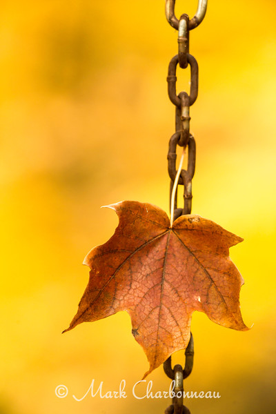Chained Maple