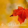 Maple Leaf with Bokeh