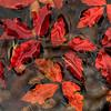 paperbark maples leaves in water