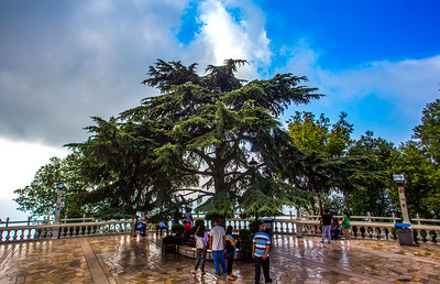 Cedar Tree, the simple of Lebanon