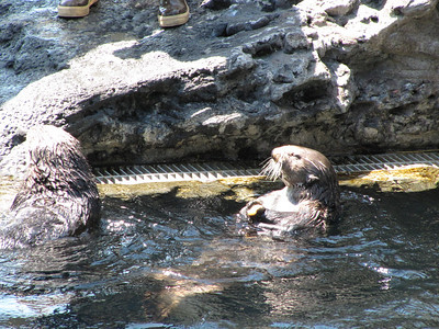 Watching the otters eat