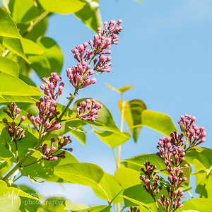 TLR-20190603-0140 Lilac Buds in June