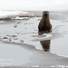 TLR-20160404-2365-River Otter on ice, reprise