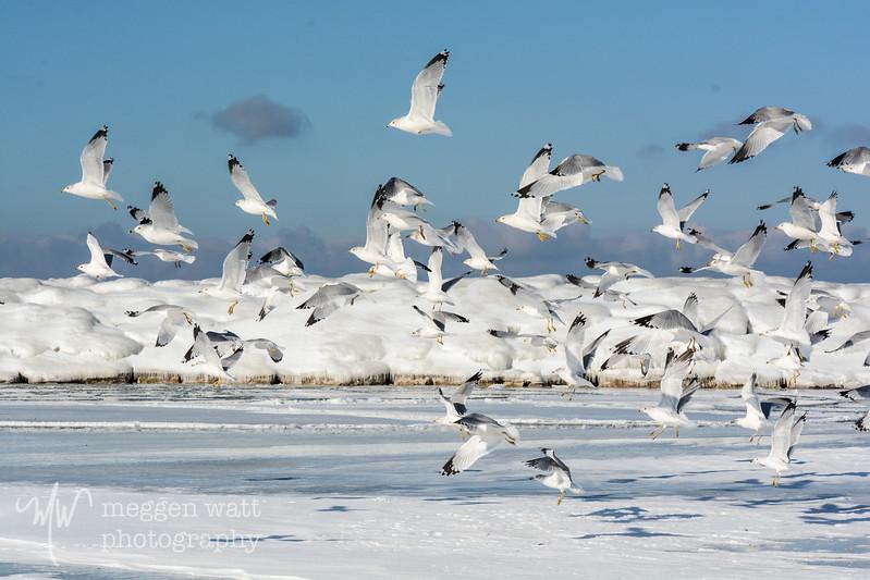 TLR-20170116-6248 Gulls Take Flight, Leland Harbor