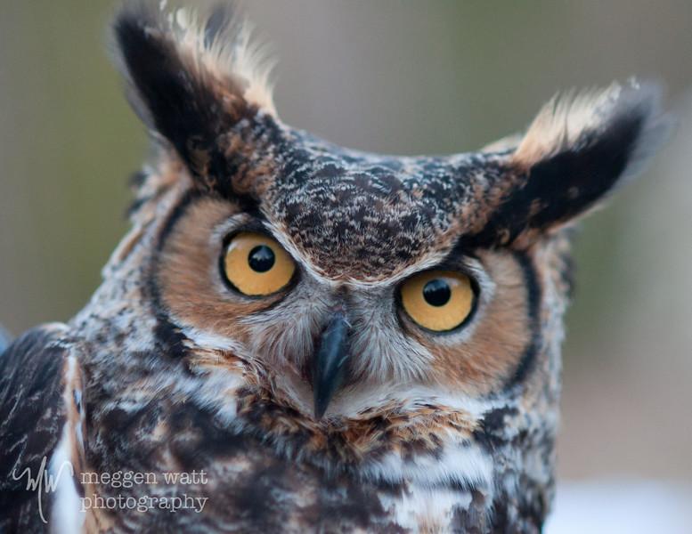Great Horned Owl Release_3151-bni