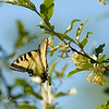 20130618-tiger-swallowtail-male-jardin-mio-MWP_9326