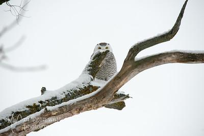 TLR-20200224-5948 Snowy Owl