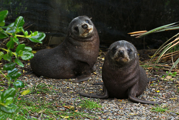 Two seal pups hiding under the 'hide' designed for visitors to view the penguins - Moeraki point