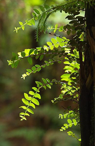 Saprophytic fern