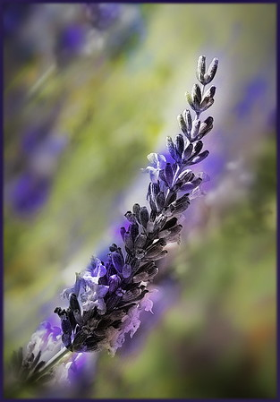 Escence of Lavender