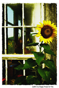 Sunflower on Canvas