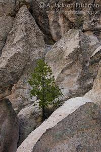 Ponderosa in Stone, Dome Wilderness, New Mexico, April 2009.