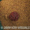 150 ml of bloodworm on top of groundbait and jokers in a groundbait bowl. © 2009 Brian Gay