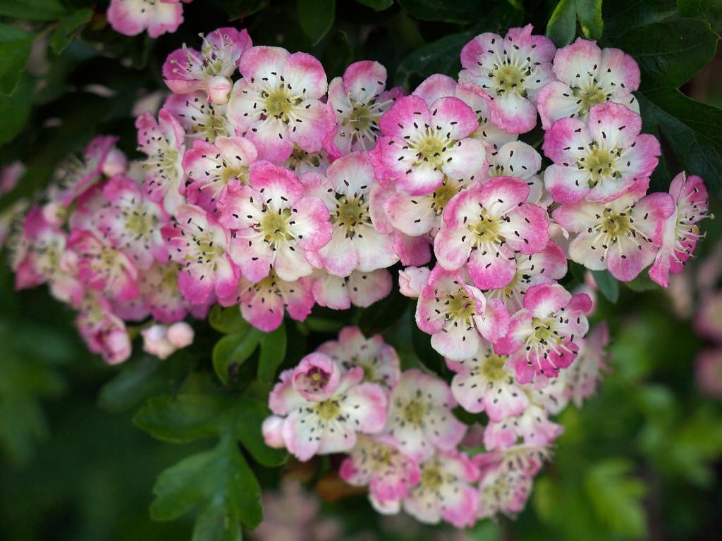 Hazel blossom