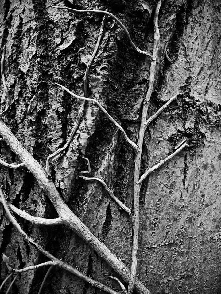 Ivy on tree
