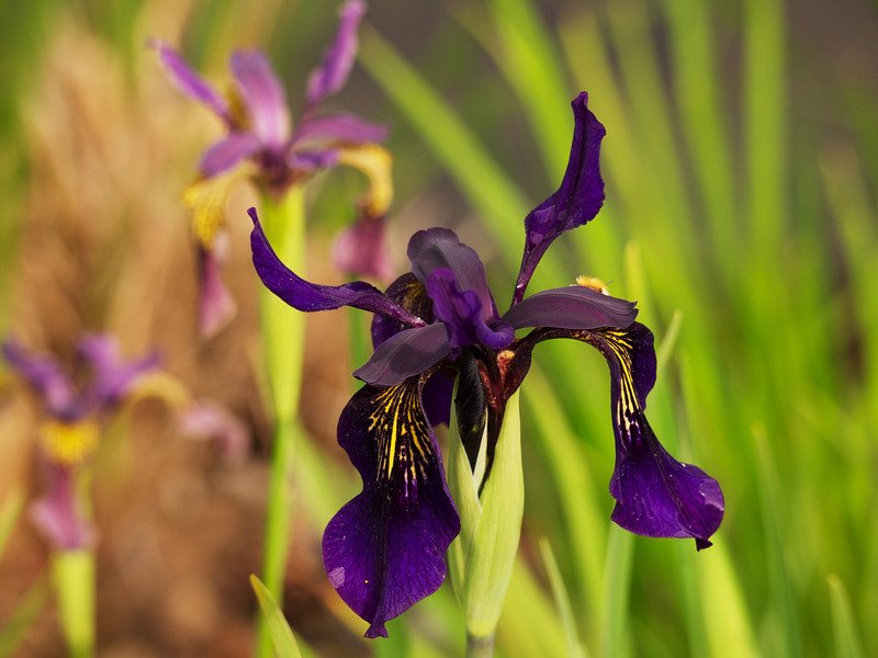 Iris, Royal Botanic Gardens Edinburgh