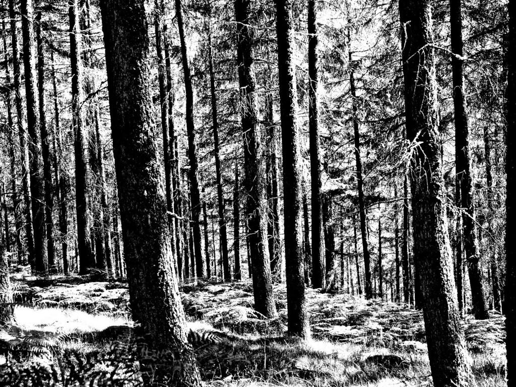 Graphical trees, Blair Atholl