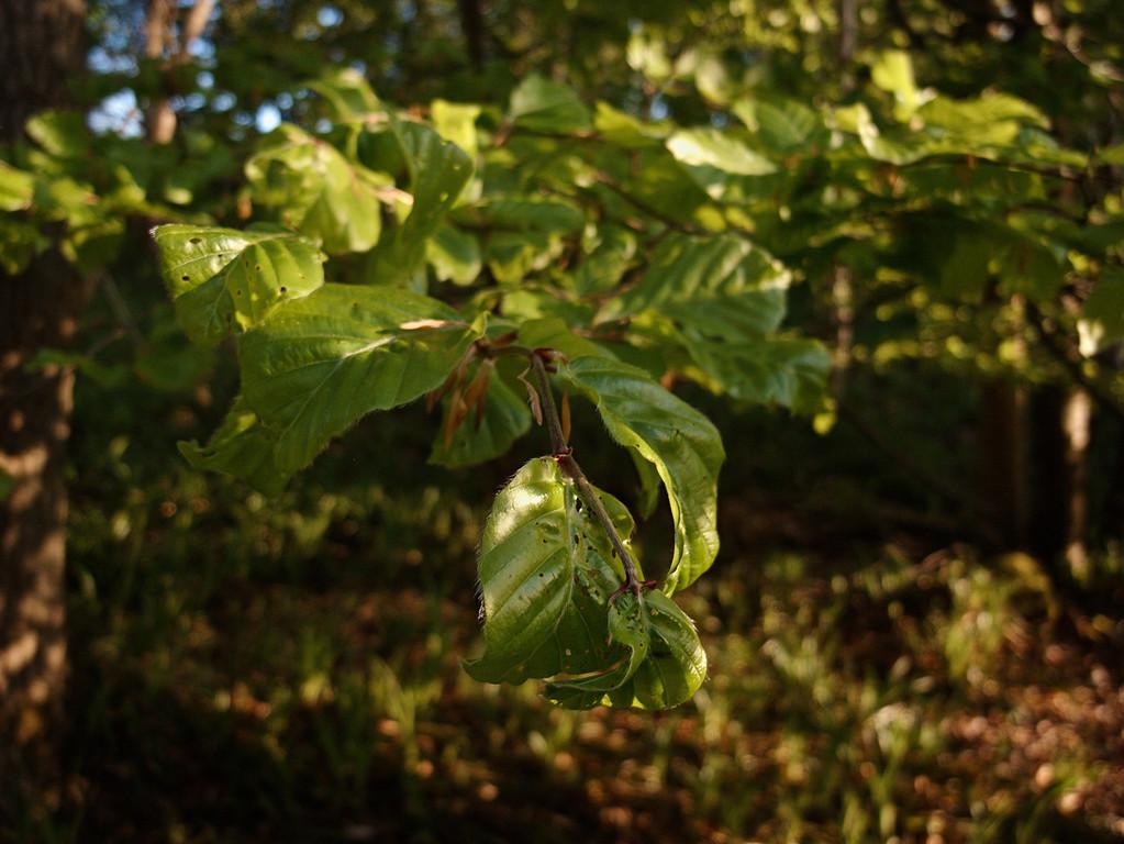 Spring beech leaves, Glenfarg