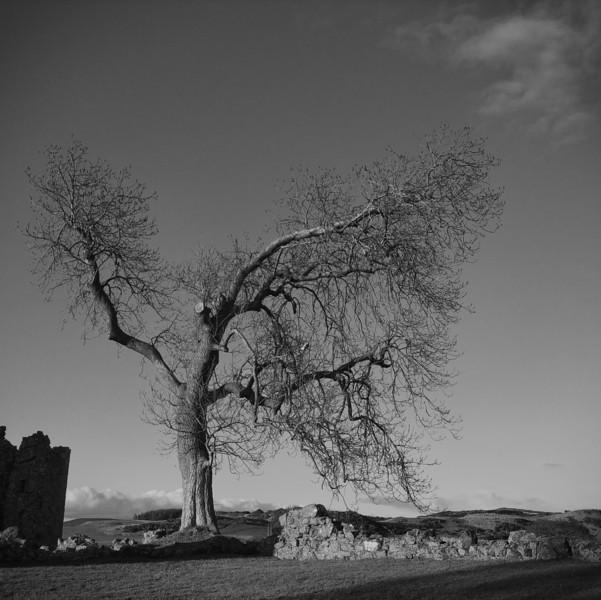 Balvaird tree 2