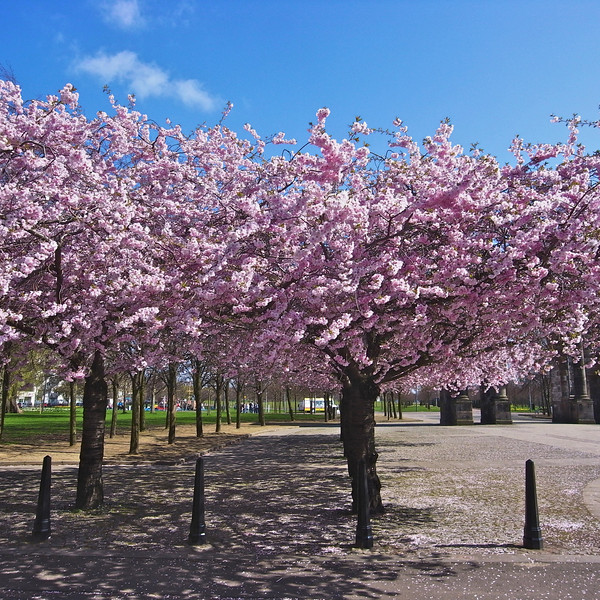 Cherry trees - Glasgow Green