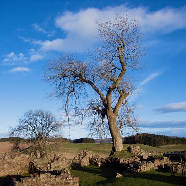 Balvaird tree 3