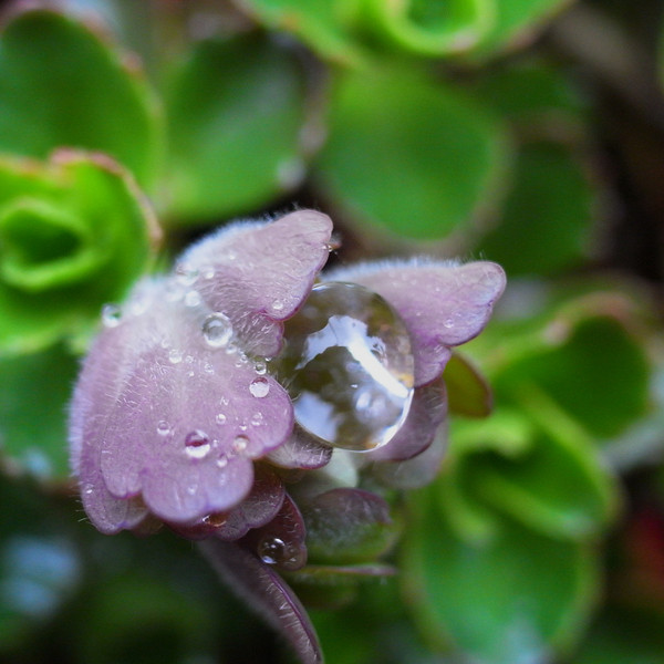 Lungwort and raindrop