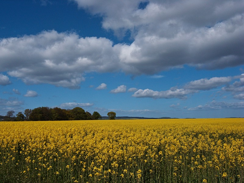 Oilseed rape field, Strathmiglo
