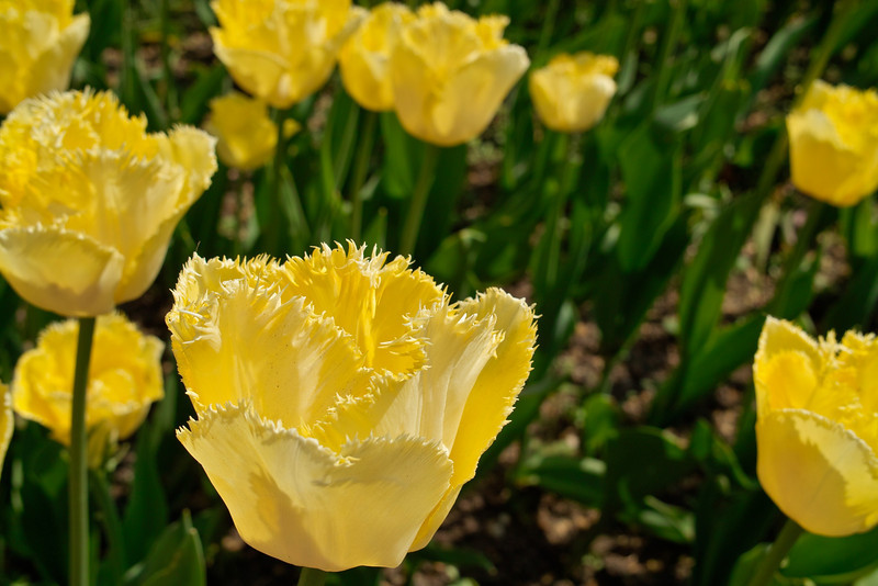 Tulips - Embankment Gardens, London