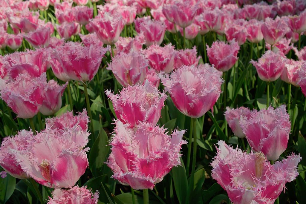 Ornamental Tulips - Embankment Gardens, London