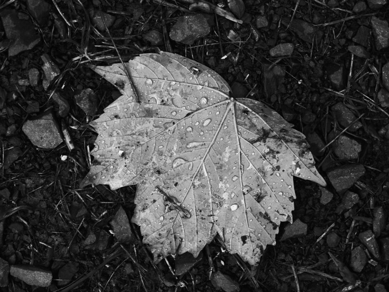 Lost Spring Leaf