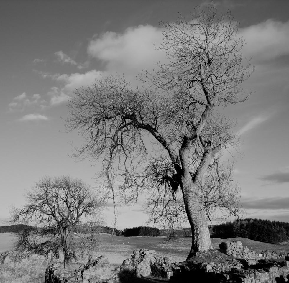 Balvaird tree 4
