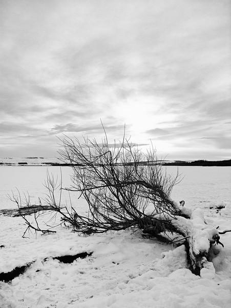 Fallen tree, Loch Leven