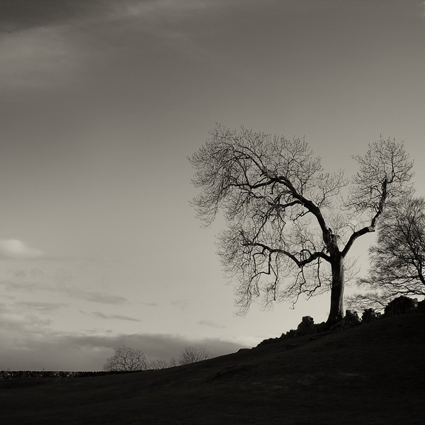 Balvaird tree 1