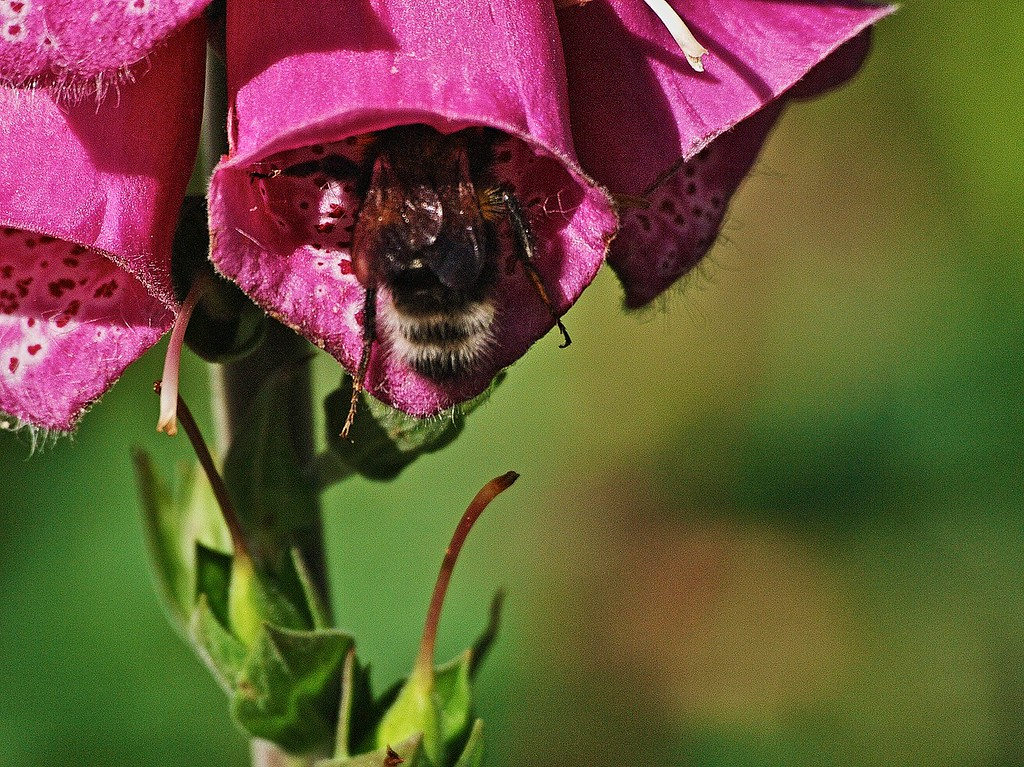 Bee and foxglove