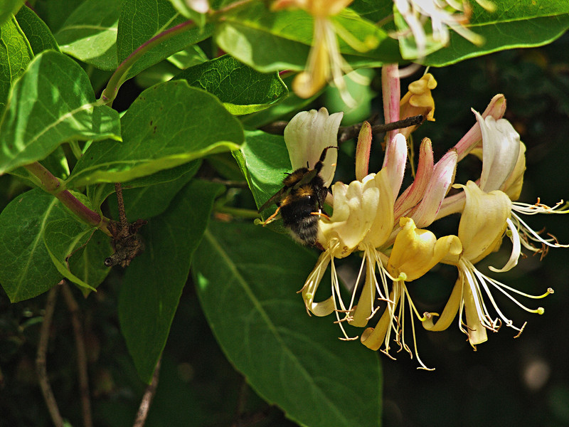 Bee and honeysuckle