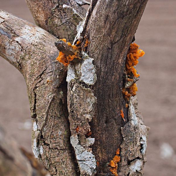 New fungus - Balvaird