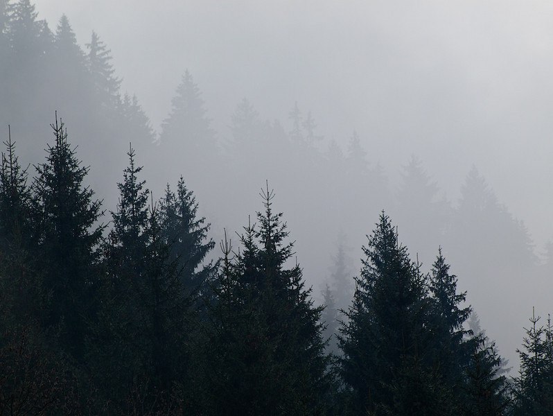 Conifers in mist - Morzine