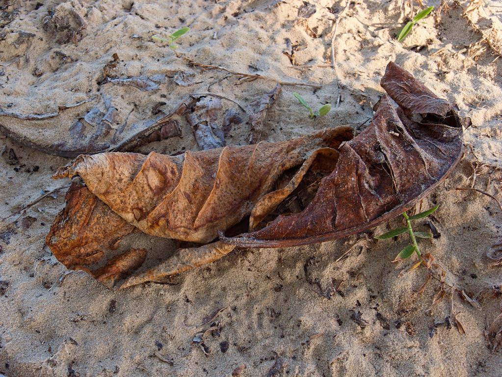 Beachcombing 2<br /> <br /> Dead leaf - Kuala Belait beach
