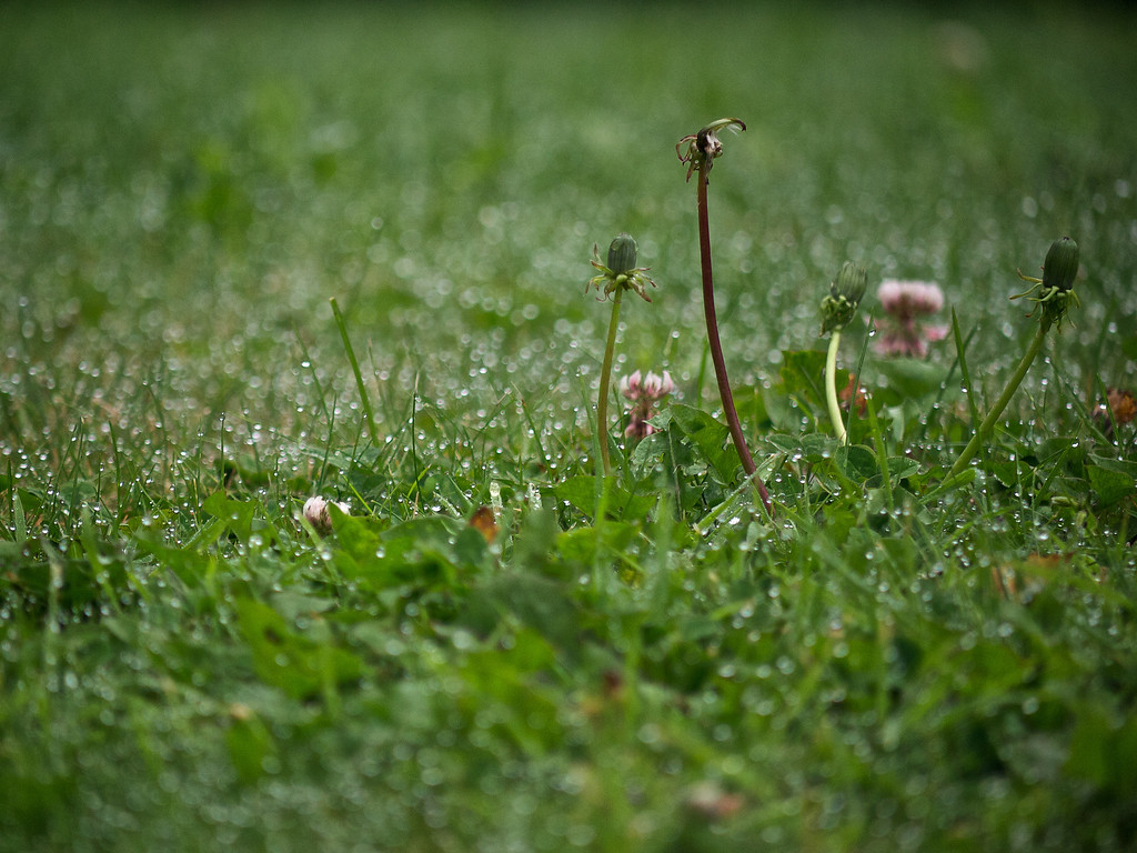 Dandelions and Dew