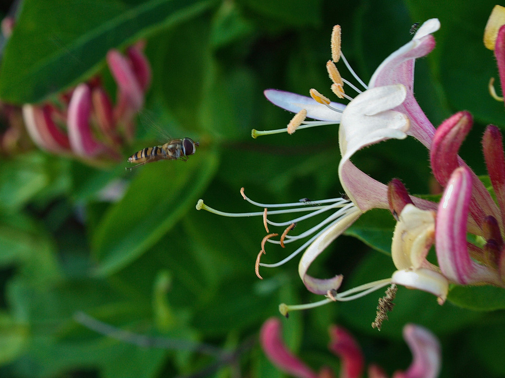 Hoverfly and honeysuckle 1