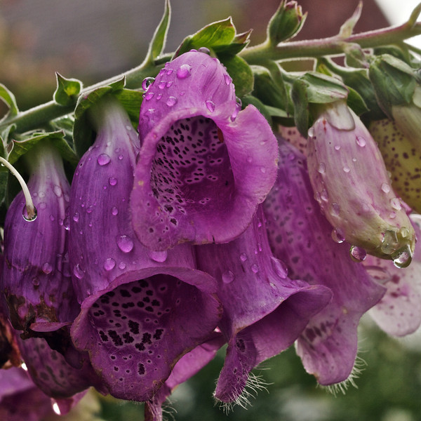 Foxgloves after rain